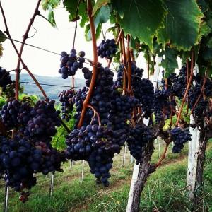 Parreiral com uvas maduras. Foto de Dauro Veras
